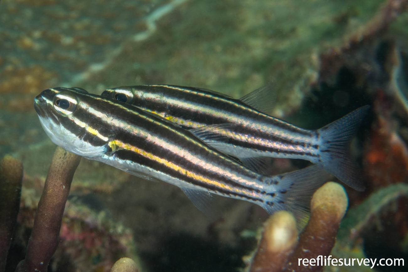 Cheilodipterus nigrotaeniatus, Raja Ampat, Indonesia,  Photo: Rick Stuart-Smith