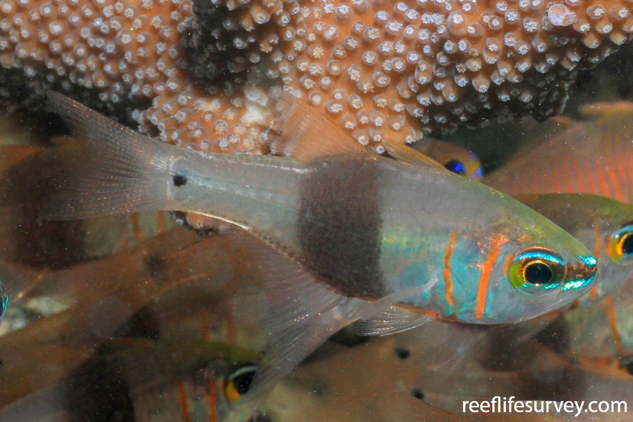 Taeniamia zosterophora, Adult.  Photo: Graham Edgar