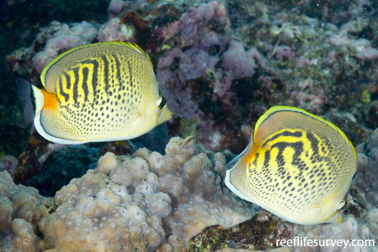 Chaetodon punctatofasciatus, Paired with C. pelewensis (right). Coral Sea, Australia,  Photo: Andrew Green