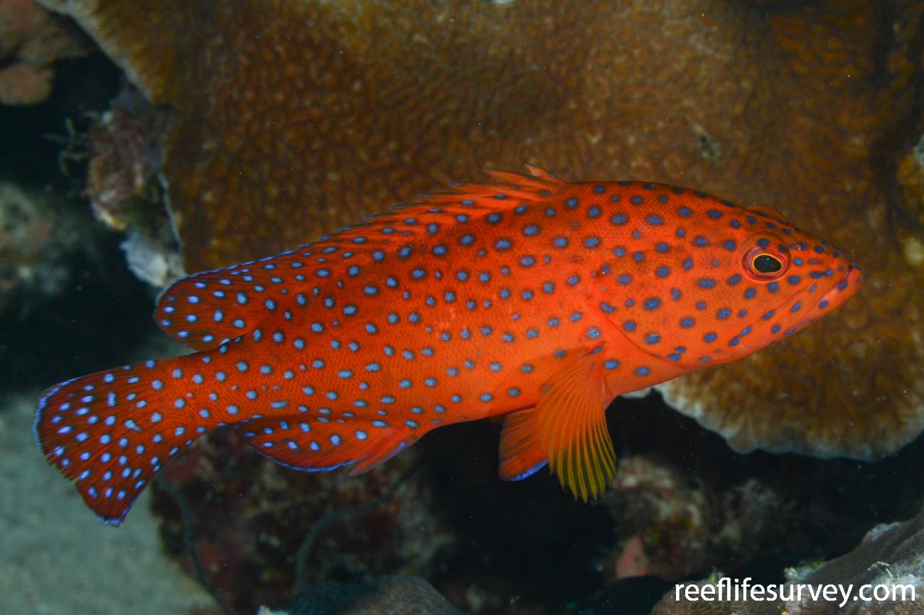 Cephalopholis miniata, Raja Ampat, Indonesia,  Photo: Rick Stuart-Smith