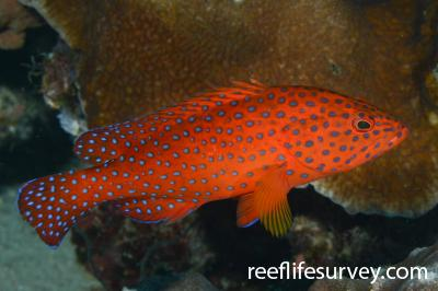 Cephalopholis miniata: Raja Ampat, Indonesia,  Photo: Rick Stuart-Smith