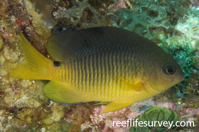 Stegastes variabilis: Belize,  Photo: Rick Stuart-Smith