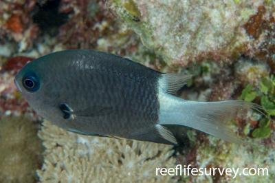 Chromis margaritifer: Adult.  Photo: Rick Stuart-Smith