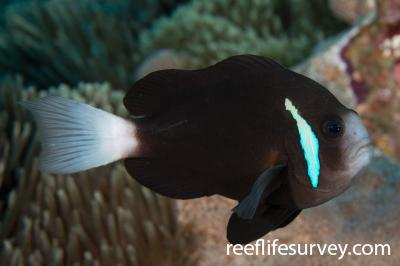 Amphiprion mccullochi: Adult.  Photo: Rick Stuart-Smith