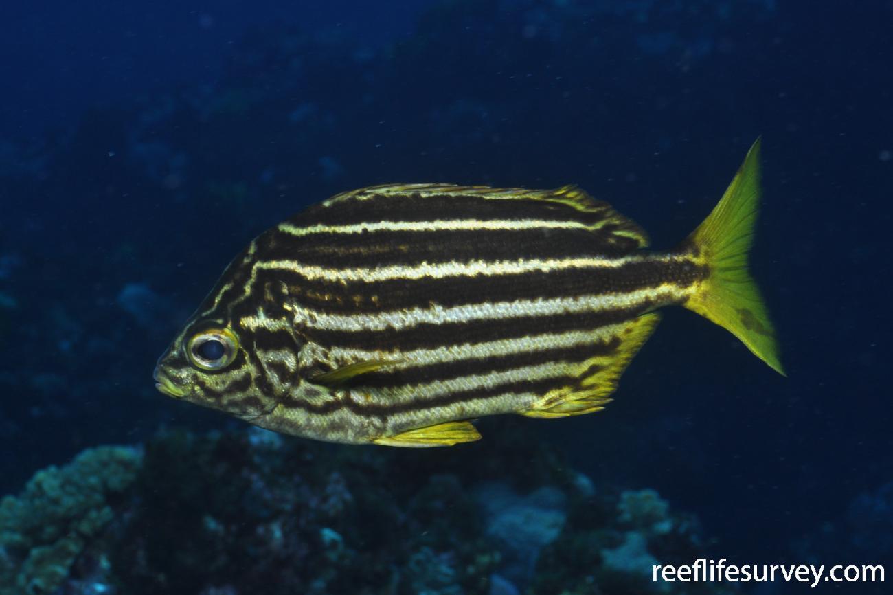 Atypichthys latus, Adult.  Photo: Rick Stuart-Smith
