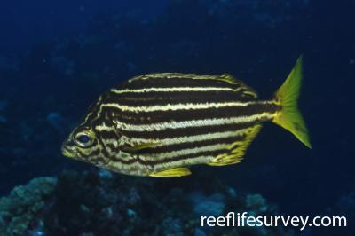 Atypichthys latus: Adult.  Photo: Rick Stuart-Smith
