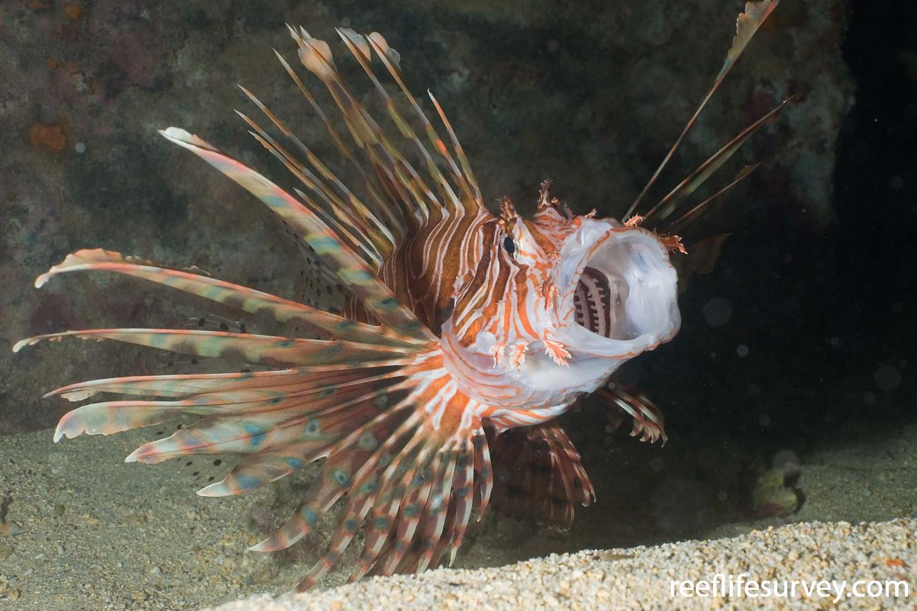 Pterois volitans, Adult, Lord Howe Is, NSW,  Photo: Andrew Green