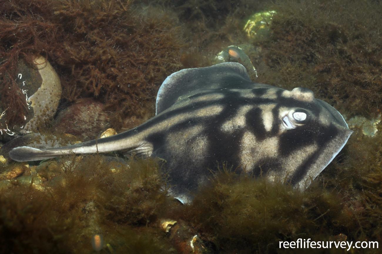 Urolophus cruciatus, Adult, Sandy Bay, Tasmania, Australia,  Photo: Rick Stuart-Smith
