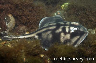 Urolophus cruciatus: Adult, Sandy Bay, Tasmania, Australia,  Photo: Rick Stuart-Smith