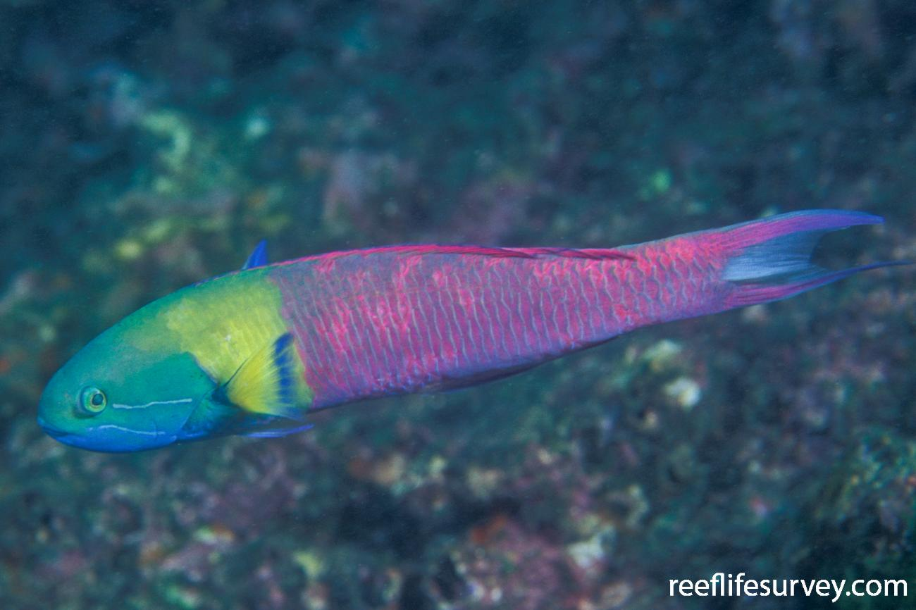 Thalassoma amblycephalum, Male, NSW, Australia,  Photo: Ian Shaw