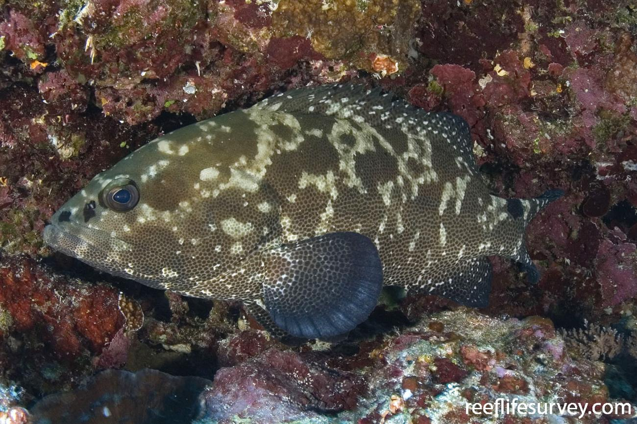 Epinephelus polyphekadion, Ha'apai Is, Tonga,  Photo: Andrew Green