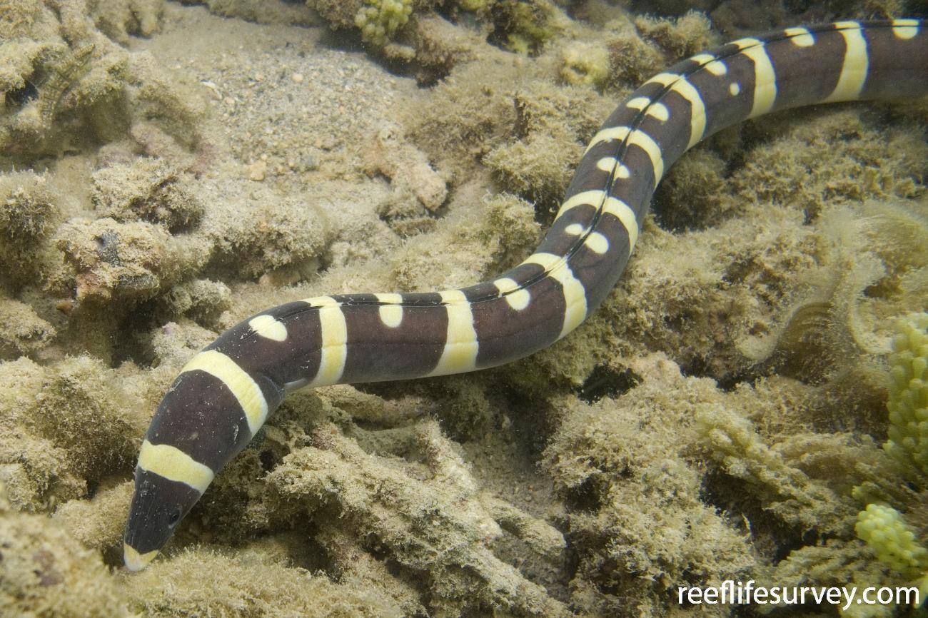 Leiuranus versicolor, Lord Howe Is, NSW,  Photo: Andrew Green