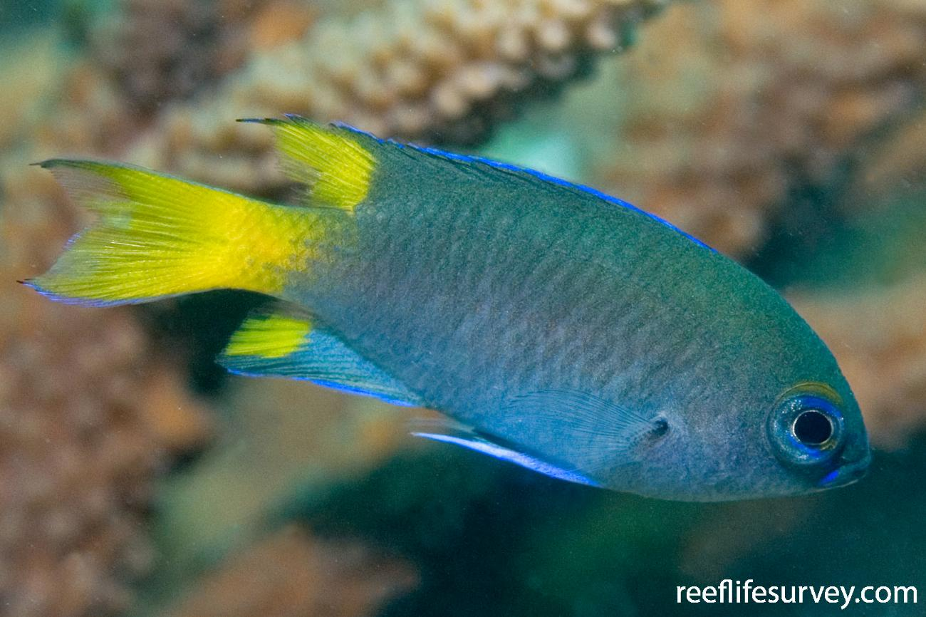 Neopomacentrus bankieri, Adult, Hudson Is, Great Barrier Reef, QLD,  Photo: Andrew Green