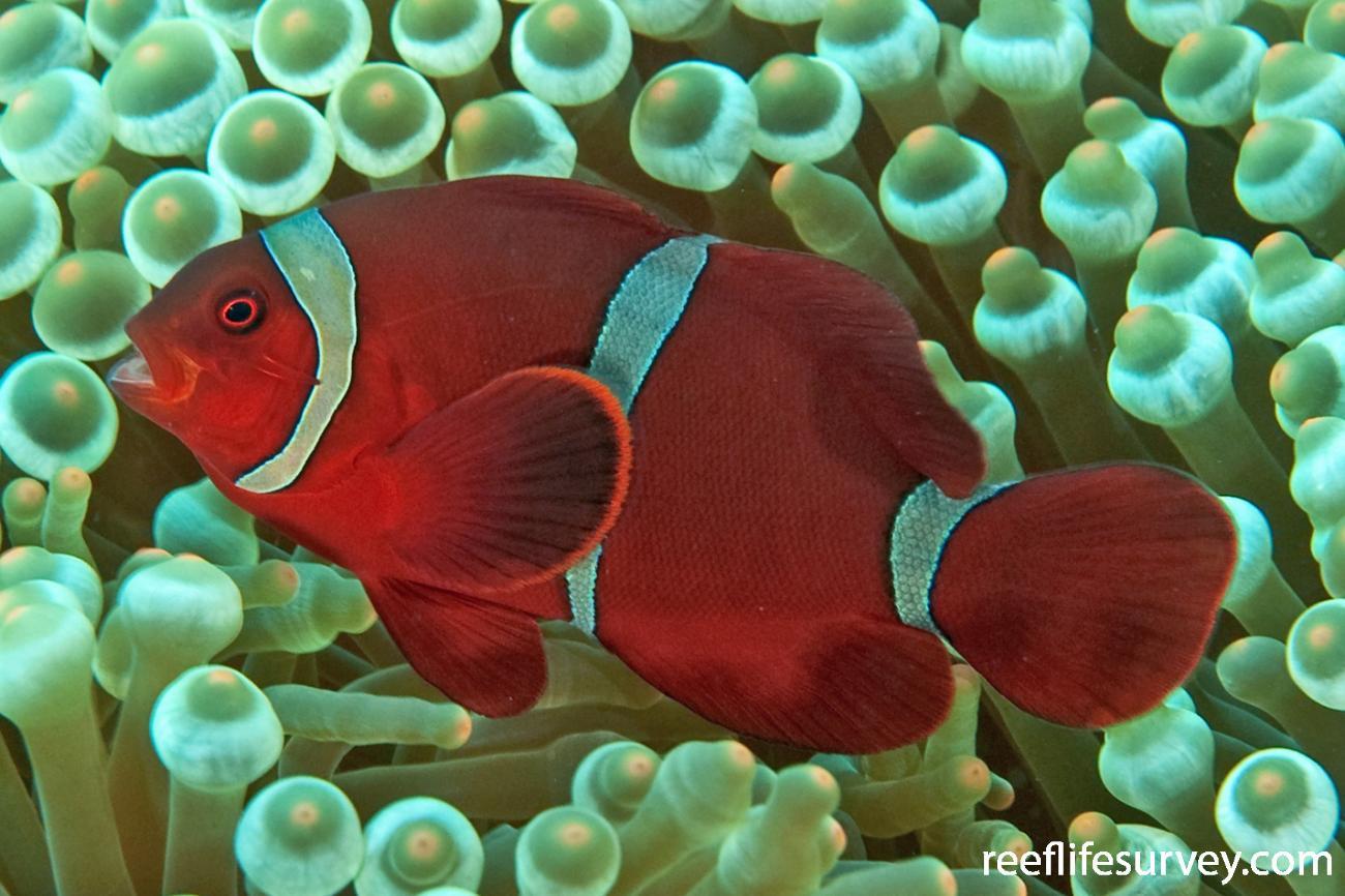 Premnas biaculeatus, Adult, Bali, Indonesia,  Photo: Ian Shaw
