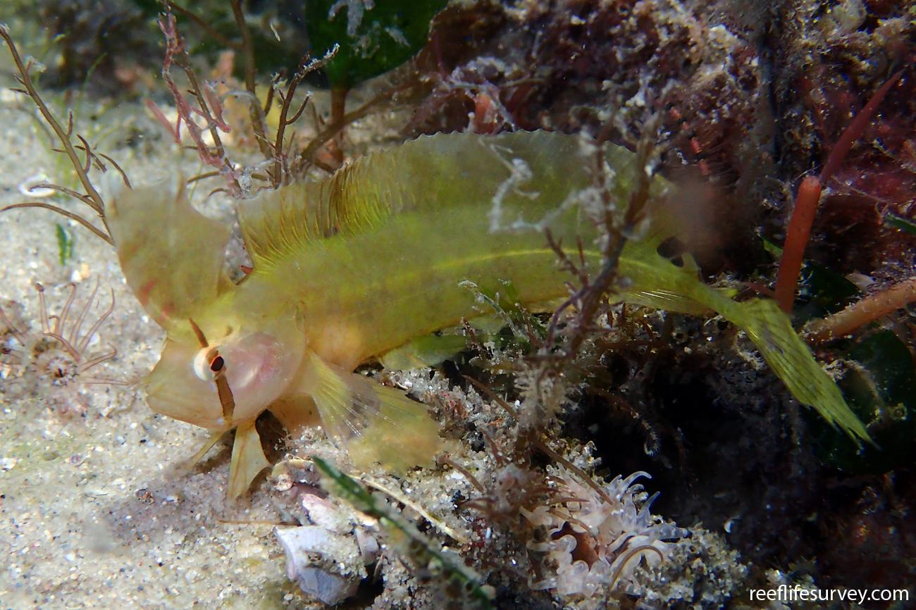 Cristiceps aurantiacus, Port Stephens, NSW,  Photo: Ian Shaw