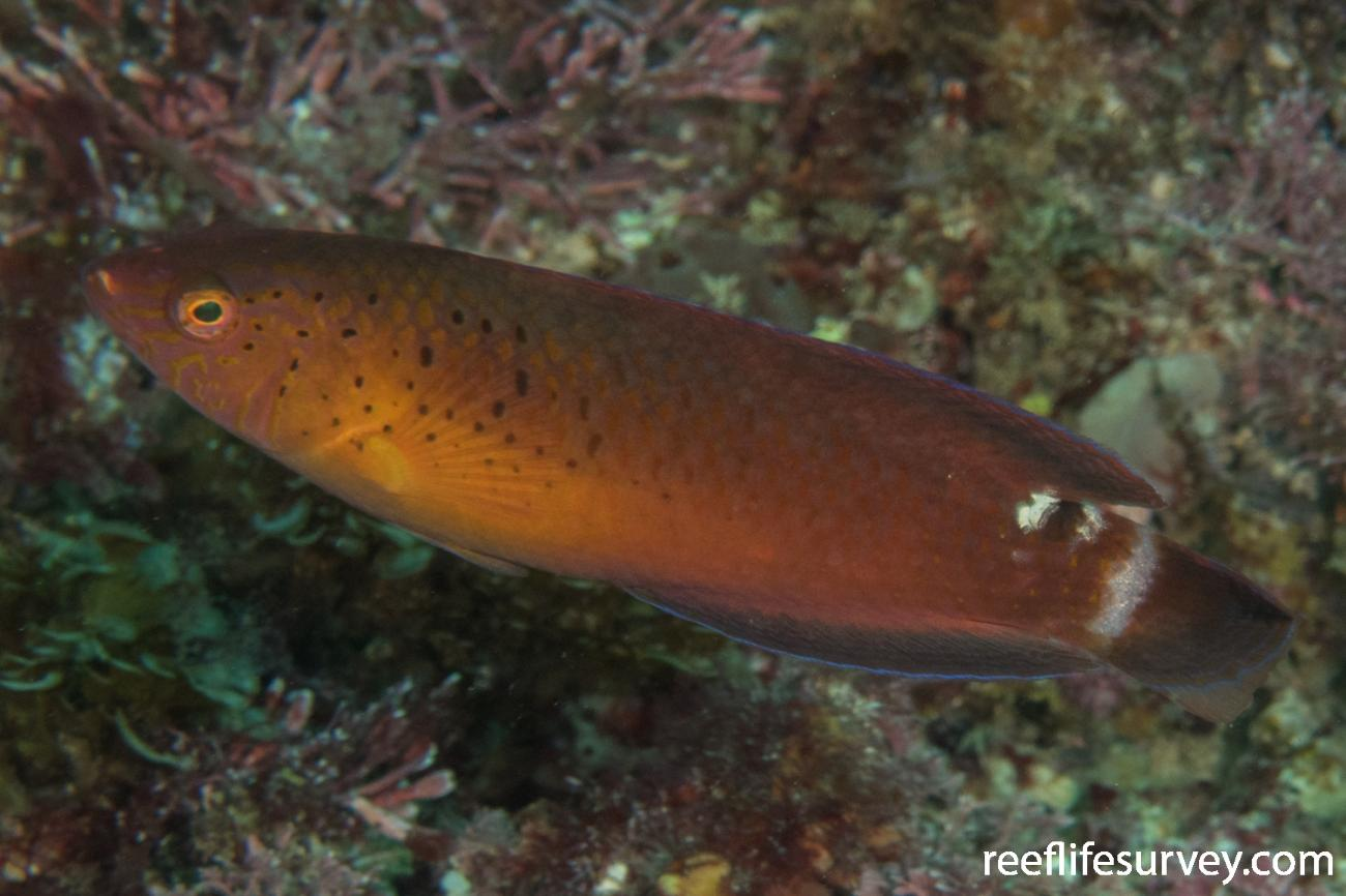 Austrolabrus maculatus, Rottnest Is, WA,  Photo: Rick Stuart-Smith