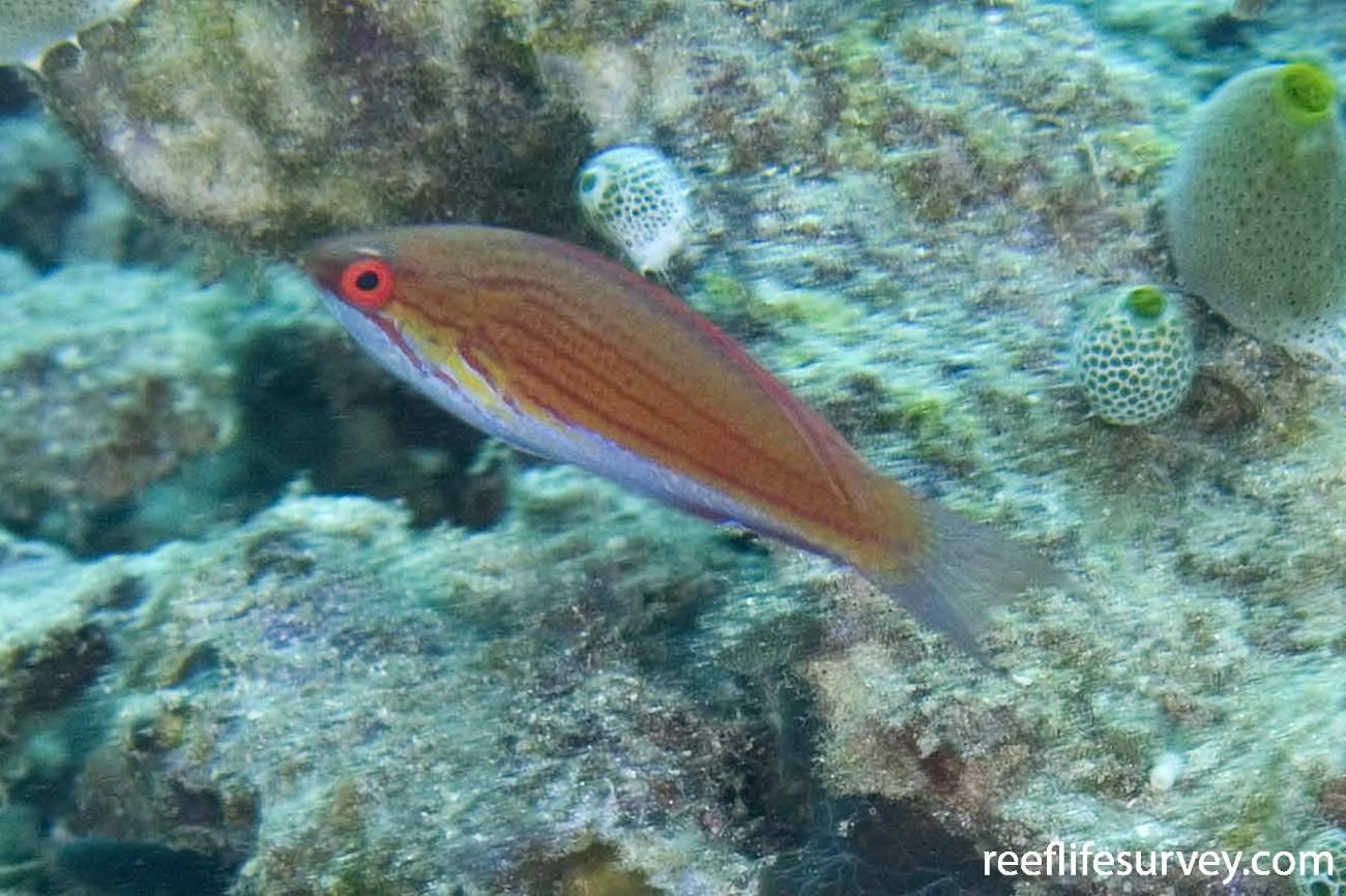 Paracheilinus cyaneus, Raja Ampat, Indonesia,  Photo: Andrew Green