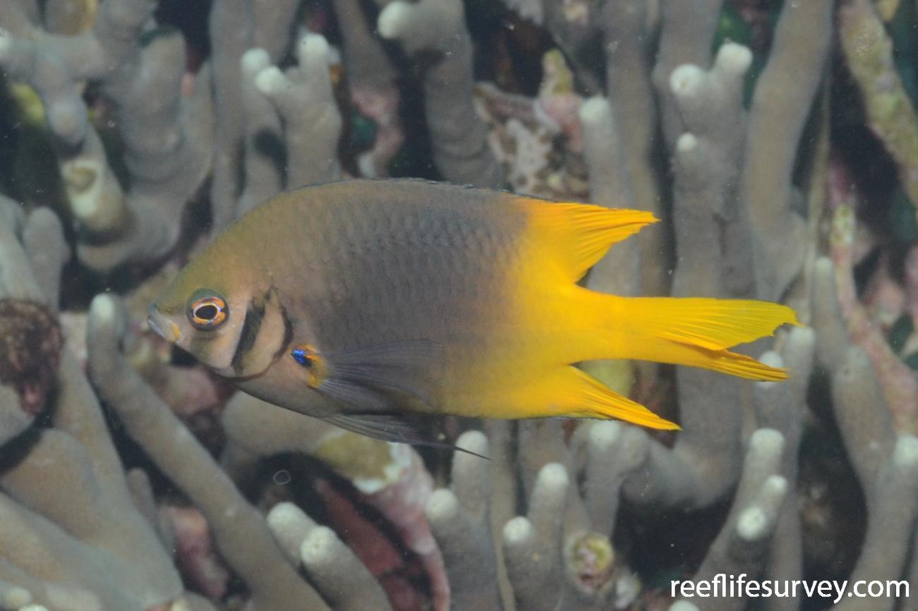Neoglyphidodon nigroris, Adult, Cairns, Great Barrier Reef,  Photo: Joe SHields