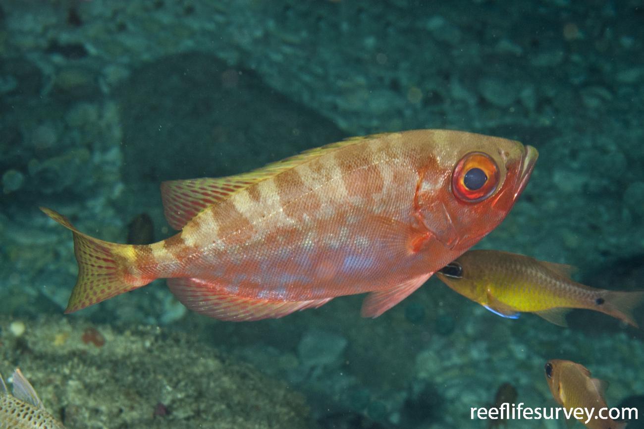 Heteropriacanthus cruentatus, Adult, Lord Howe Island, NSW,  Photo: Ian Shaw