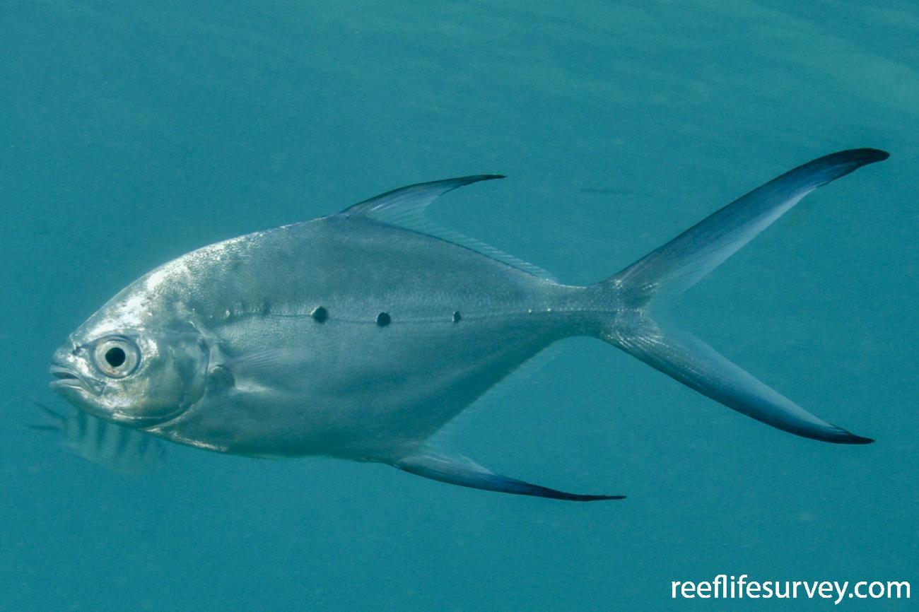 Trachinotus baillonii, Seychelles,  Photo: Rick Stuart-Smith