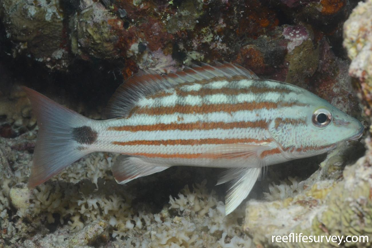 Lutjanus decussatus, Rowley Shoals, Western Australia,  Photo: Graham Edgar