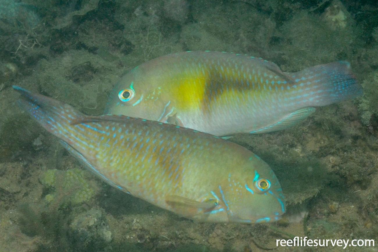 Choerodon cephalotes, WA, Australia,  Photo: Graham Edgar