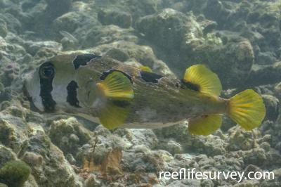 Diodon liturosus: Maldives,  Photo: Rick Stuart-Smith