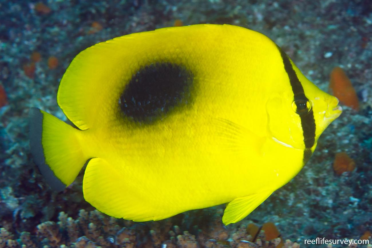 Chaetodon speculum, Adult, NSW, Australia,  Photo: Ian Shaw