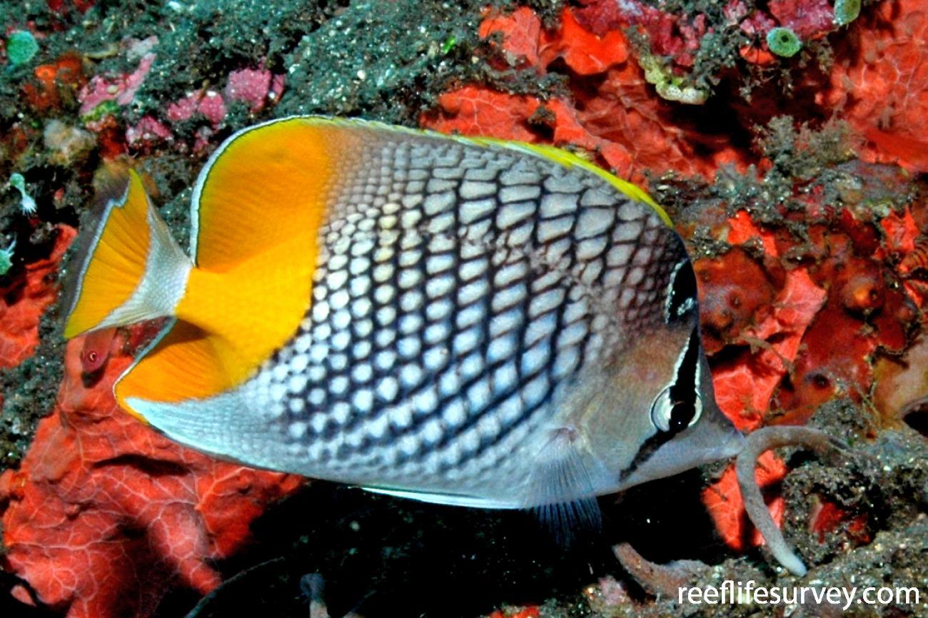Chaetodon xanthurus, Adult, Tulamben, Bali,