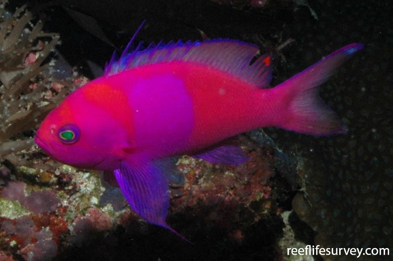 Pseudanthias pleurotaenia, Male, Flores, Indonesia,  Photo: Rick Stuart-Smith