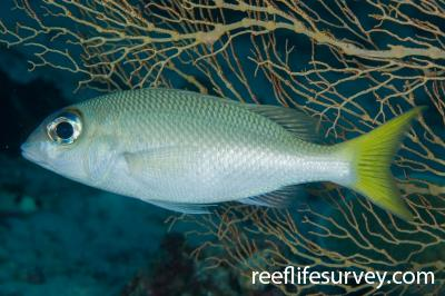 Scolopsis affinis: Adult, Raja Ampat, Indonesia,  Photo: Andrew Green