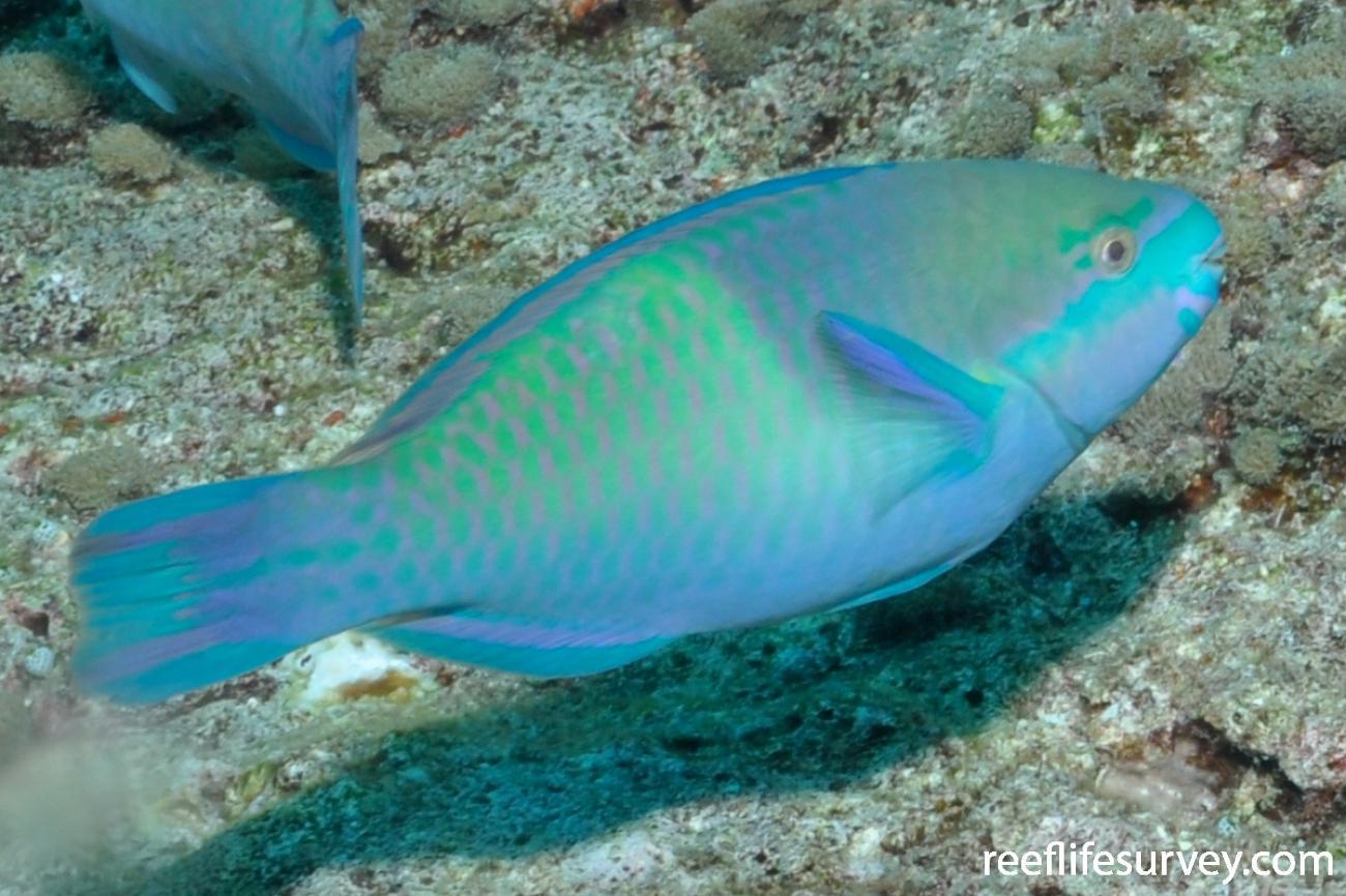 Scarus scaber, Male, Maldives,  Photo: Rick Stuart-Smith