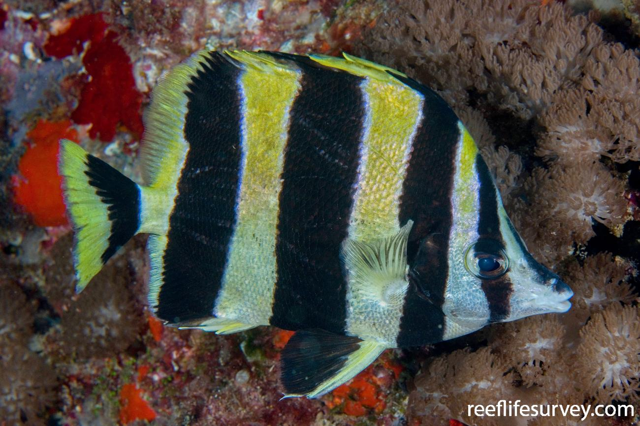 Amphichaetodon howensis, Adult, Lord Howe Is, NSW, Australia,  Photo: Andrew Green