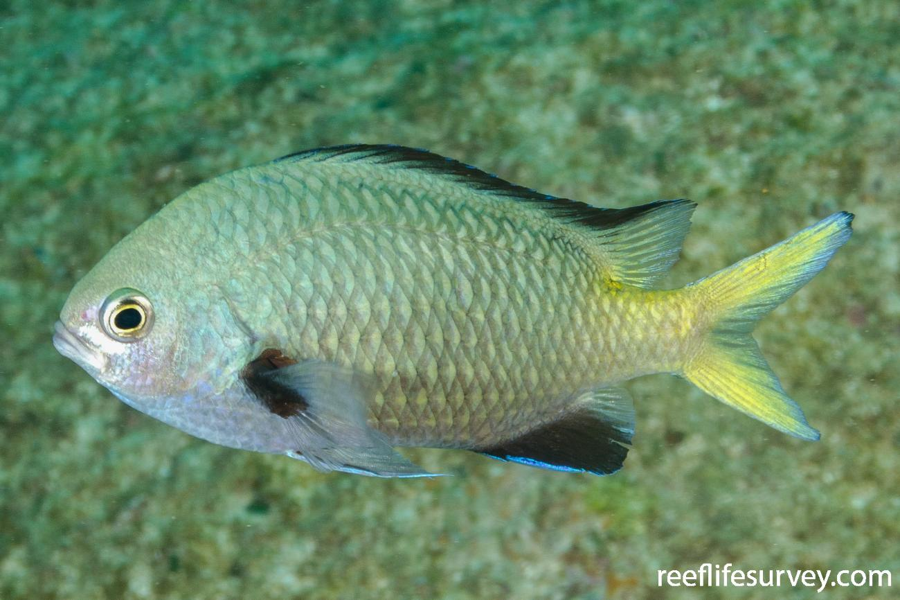 Chromis kennensis, NSW, Australia,  Photo: Ian Shaw