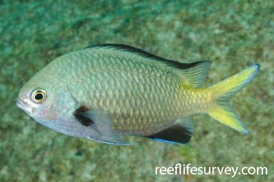 Chromis kennensis: NSW, Australia,  Photo: Ian Shaw