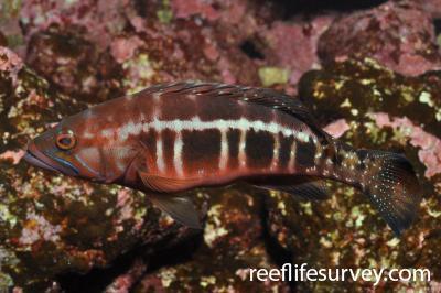 Serranus atricauda: Canary Islands, Spain,  Photo: Rick Stuart-Smith