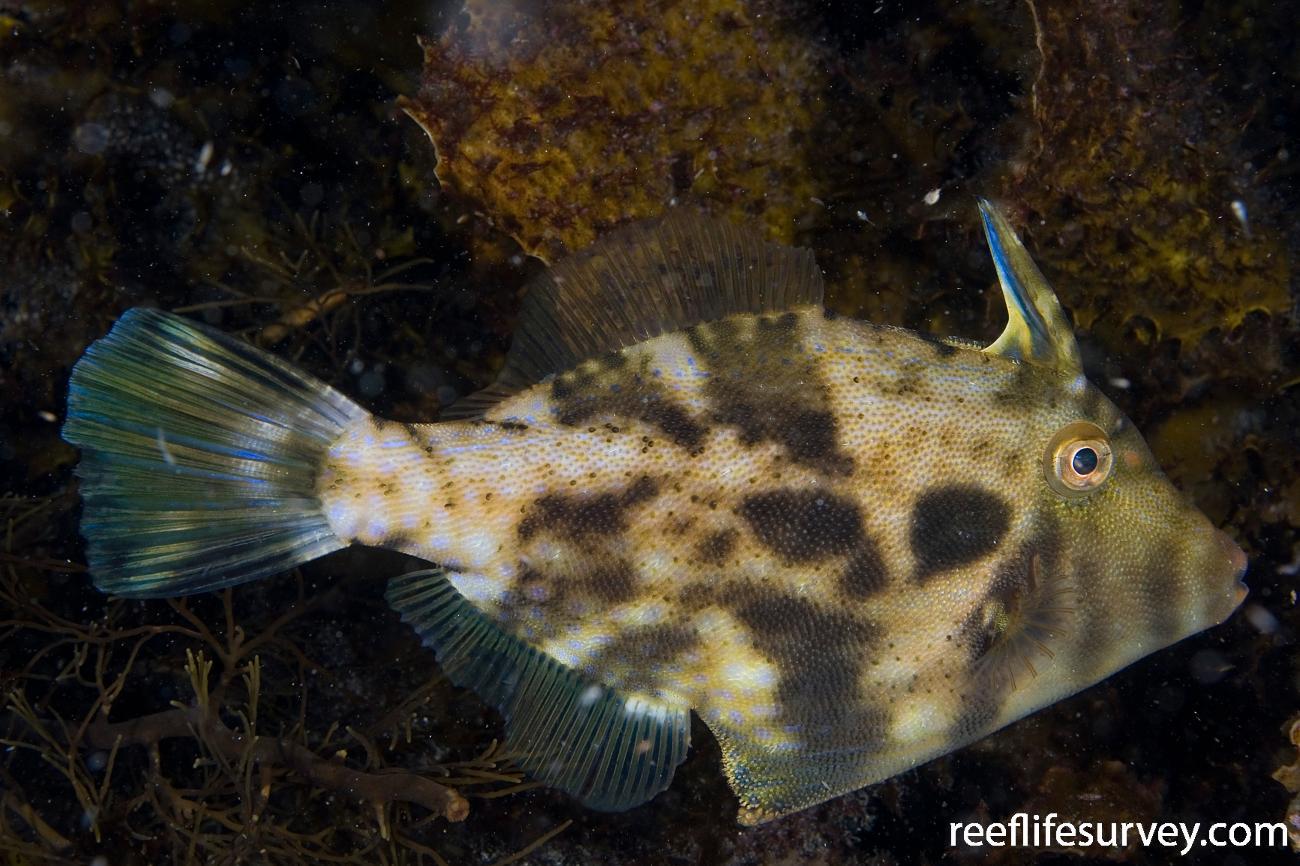 Scobinichthys granulatus, Adult, Bermagui, NSW,  Photo: Andrew Green