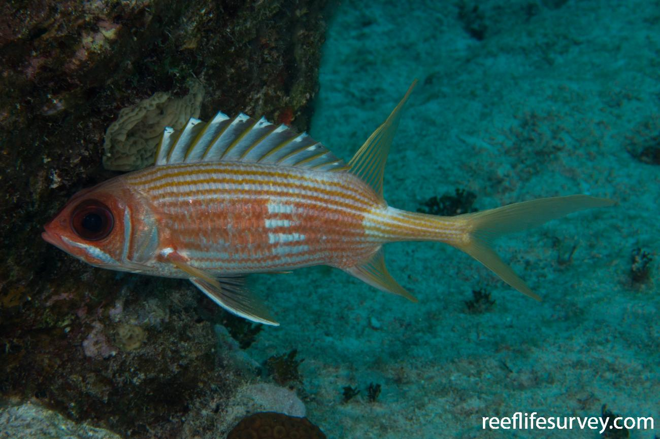 Holocentrus rufus, Turks & Caicos,  Photo: Rick Stuart-Smith