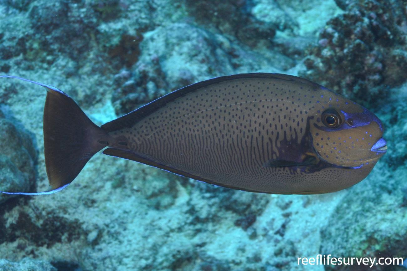 Naso Vlamingii Bignose Unicornfish Reeflifesurveycom