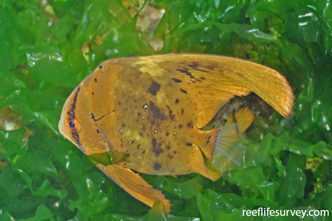 Platax orbicularis, Juvenile.  Photo: Rick Stuart-Smith