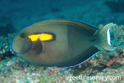 Acanthurus olivaceus: Adult, NSW, Australia,  Photo: Ian Shaw