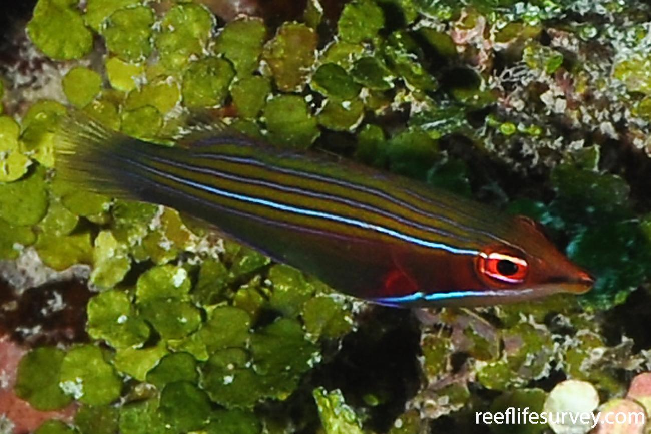 Pseudocheilinus tetrataenia, Tetiaroa, French Polynesia,  Photo: Rick Stuart-Smith