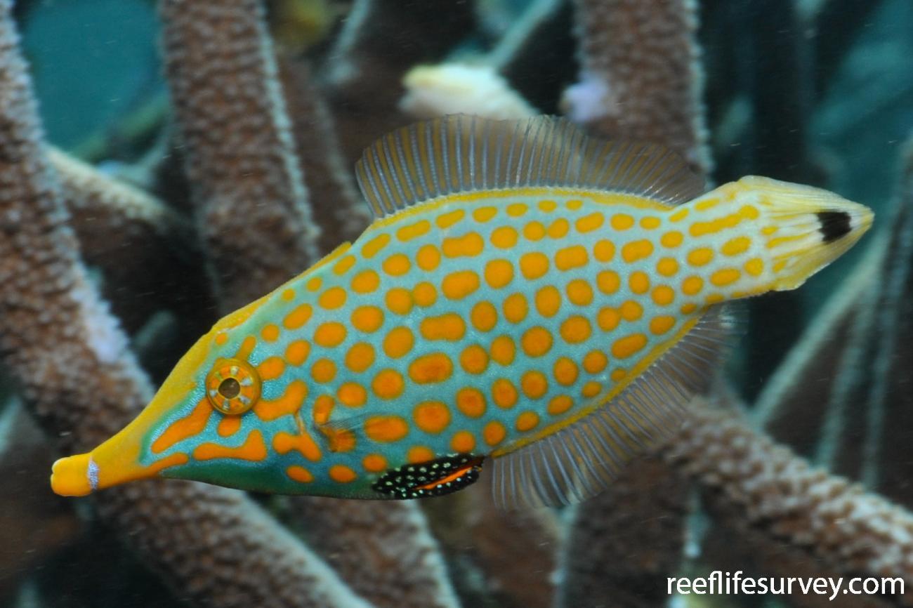 Oxymonacanthus longirostris, Ningaloo Reef,  Photo: Rick Stuart-Smith