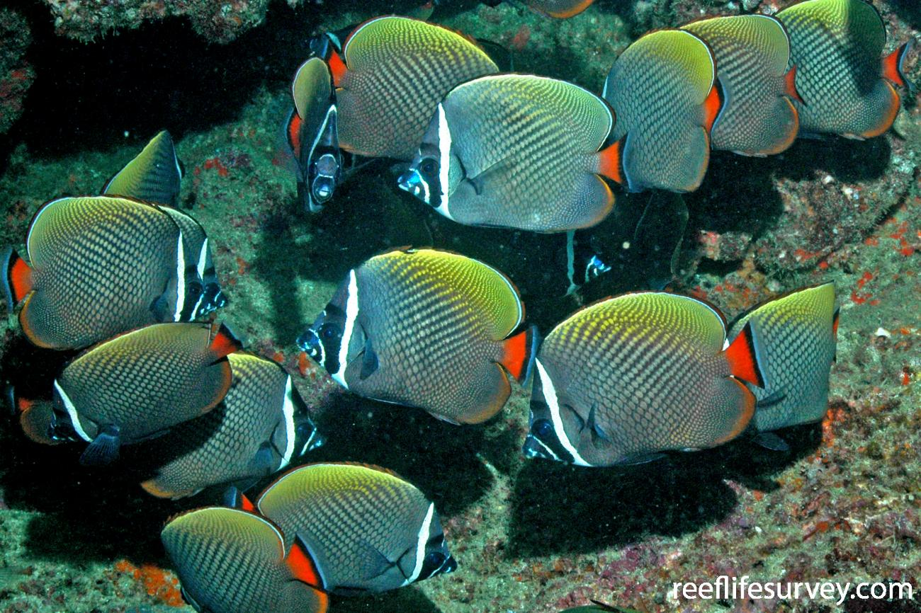 Chaetodon collare, Adult.  Photo: Rick Stuart-Smith