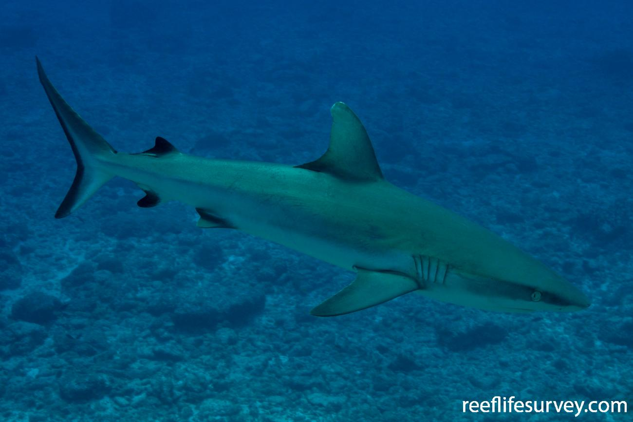 Carcharhinus amblyrhynchos, Herald Cays, Coral Sea,  Photo: Rick Stuart-Smith
