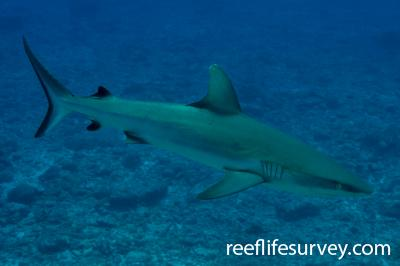 Carcharhinus amblyrhynchos: Herald Cays, Coral Sea,  Photo: Rick Stuart-Smith