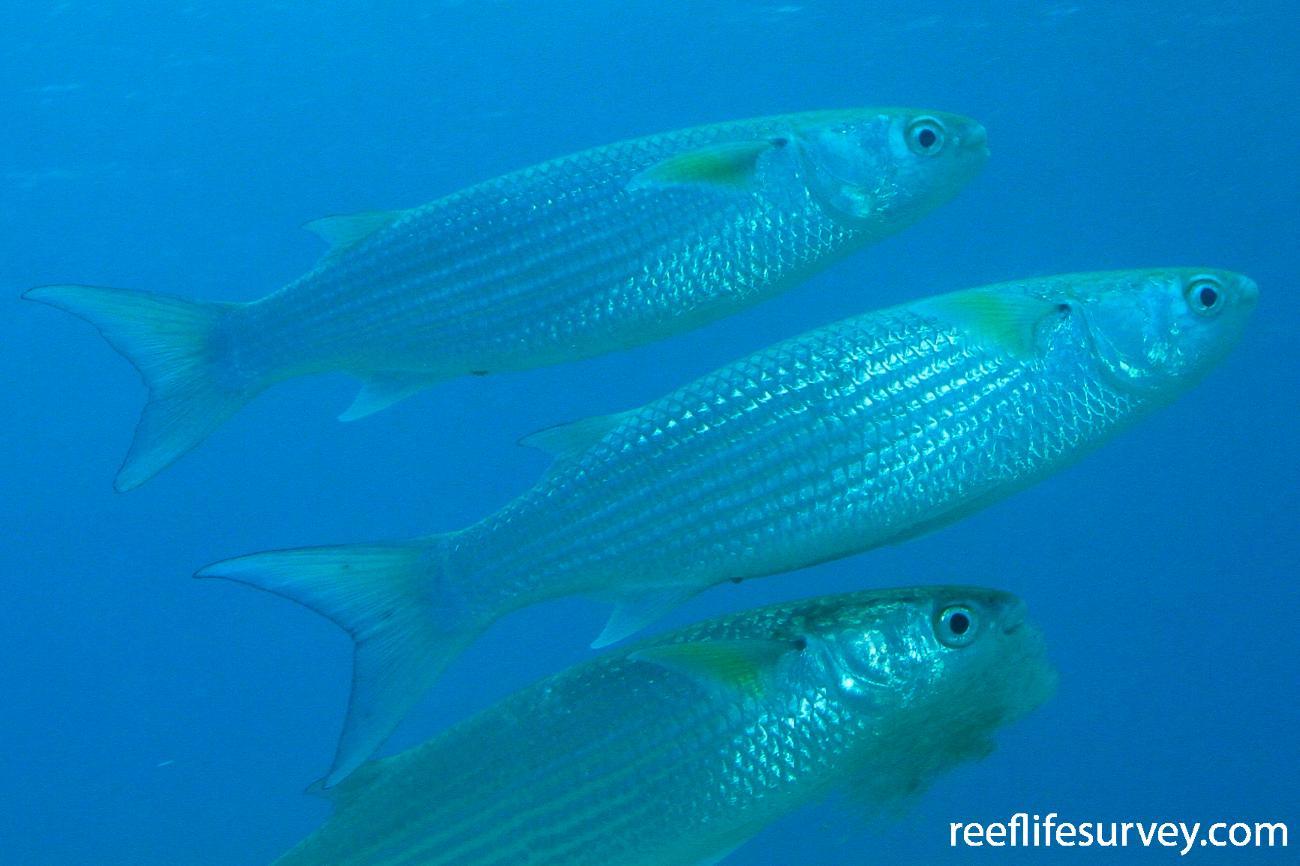 Crenimugil crenilabis, Great Barrier Reef, Australia,  Photo: Graham Edgar
