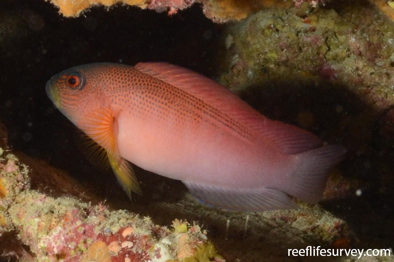 Labracinus cyclophthalmus, Japan,  Photo: Graham Edgar