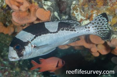 Plectorhinchus picus: Juvenile, NSW, Australia,  Photo: Ian Shaw