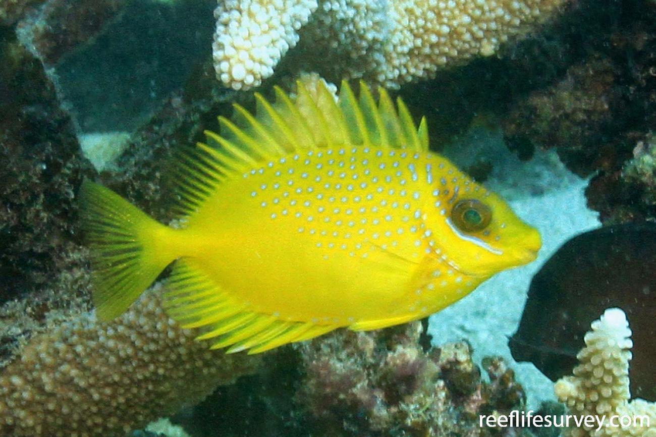 Siganus corallinus, Juvenile, QLD, Australia,  Photo: Graham Edgar